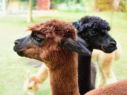 Herbstliche Almwanderung mit Lamas und Alpakas
