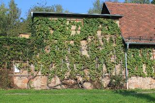Ältester Traminerweinstock Sachsens im Kloster Heilig Kreuz Meissen