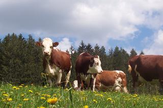 ein Teil unserer Kühe
