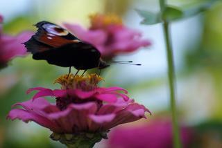 Ein Tagpfauenauge auf seinem Blütenthron