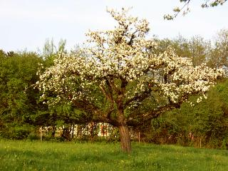 Apfelblüte im April