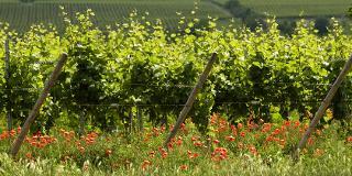 Ein Sommertag im Weinberg / Urheber: DWI (Deutsches Weininstitut) / Rechteinhaber: © DWI (Deutsches Weininstitut)