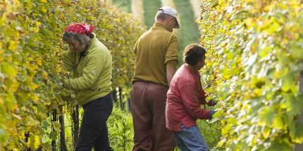 Ein Herbsttag im Weinberg (Markgräfler Weinkolleg)
