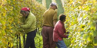 Ein Herbsttag im Weinberg / Urheber: DWI (Deutsches Weininstitut) / Rechteinhaber: © DWI (Deutsches Weininstitut)