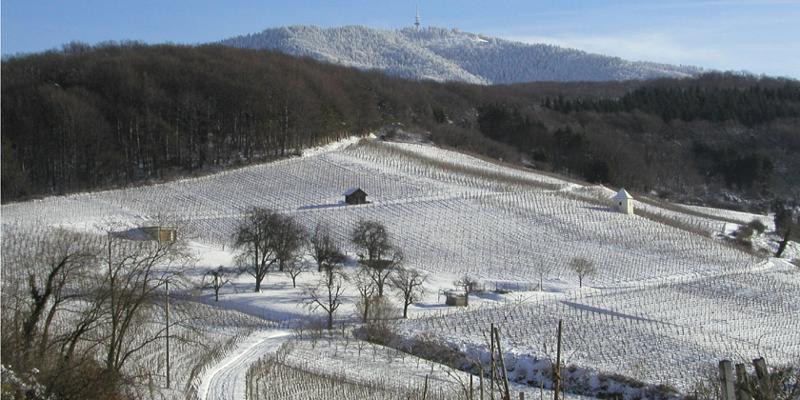 Ein Wintertag im Weinberg (Markgräfler Weinkolleg)