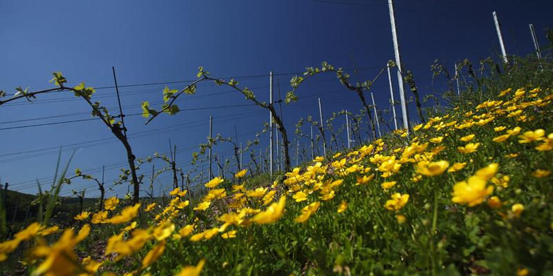 Ein Frühlingstag im Weinberg (Markgräfler Weinkolleg)