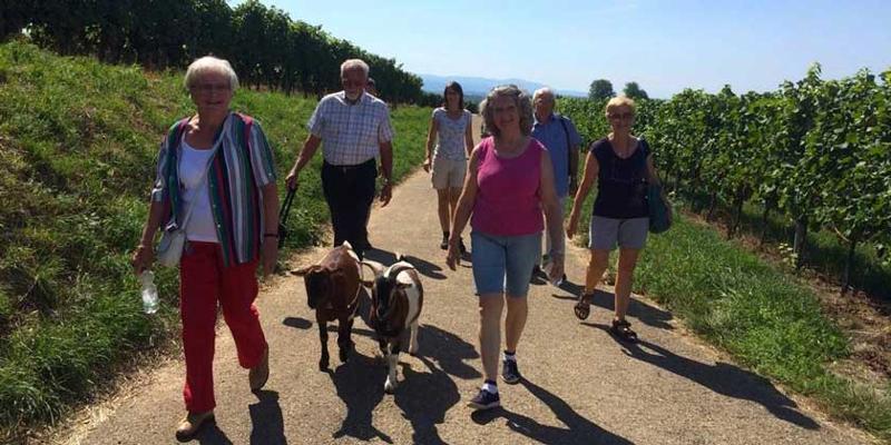 Wanderung: Mit Geiß, Ziegenkäse und Weinprobe in Bischoffingen