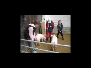Schweine - nur Mutige sind im Schweinegehege