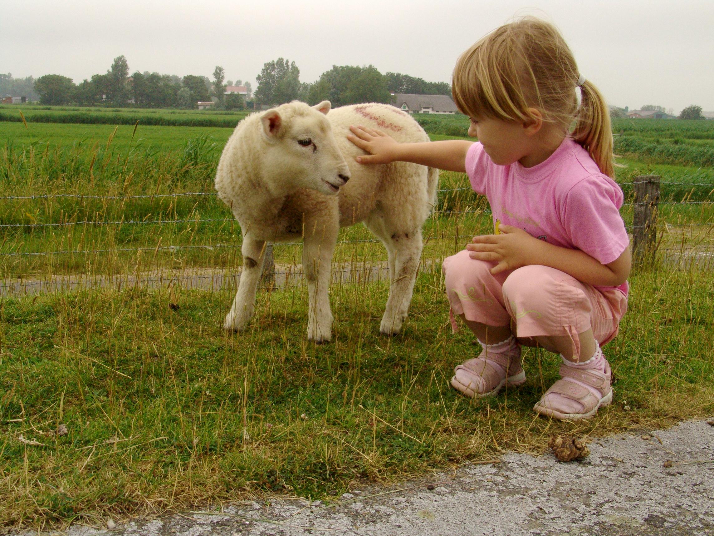 Wer geduldig ist darf und kann die Schafe sreicheln