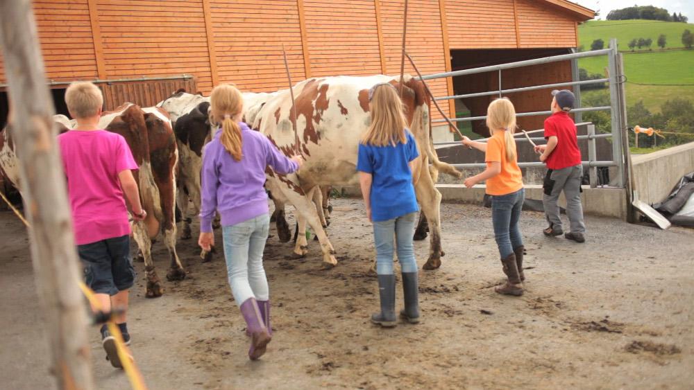 Die Kühe werden abends von der Weide geholt und in den Stall getrieben. Hier helfen oft unsere Gäste