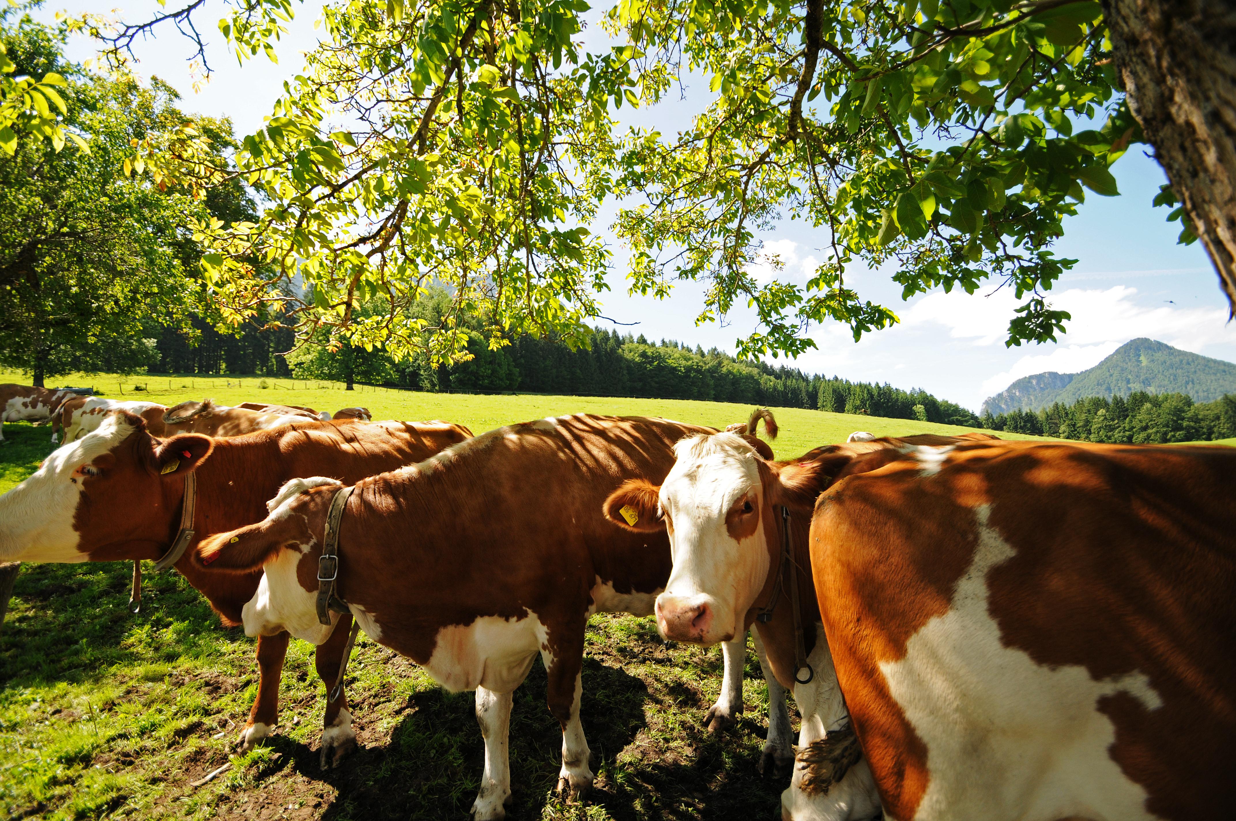 Unsere Kühe dürfen den Sommer natürlich draußen auf der Weide verbringen.