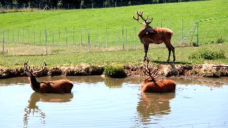 Hirsche am Teich