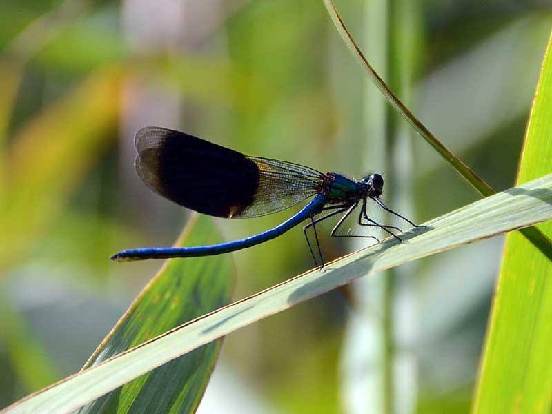 Durchs Libellenparadies - von Drachen und Jungfrauen