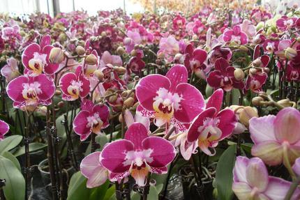 """""""Königin der Blumen"""" - Orchideenvortrag"""