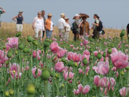Gemeinde Meißner - Mohnblüte und mehr